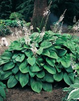Hosta Honey Bells