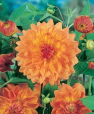 Dahlia Decorativ Ace Summer Sunset