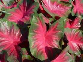 caladium royal flush