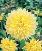 Dahlia Decorative Kelvin Floodlight