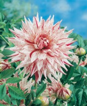 Dahlia Micks Peppermint