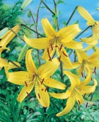Lily Tiger Yellow