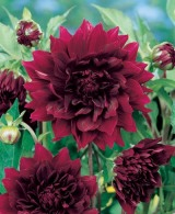 Dahlia Decorativ Rip City