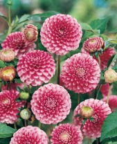 Dahlia Pompon Little William