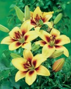 Lilium Asiatic Grand Cru