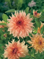 Dahlia Decorativ Hart's Dr. McMurray