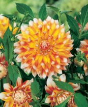 Dahlia Decorativ Peaches and Cream (R)