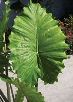 elephant ear alocasia portadora Ruffled Upright