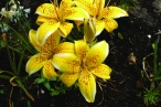Lily electric yellow