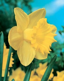 Narcissus LC Dutch Master