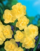 Narcissus DO Yellow Cheerfulness