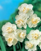 Narcissus DO White Cheerfulness