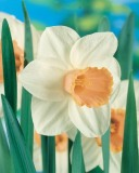 Narcissus LC Salome