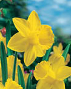 Narcissus LC St everne