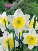 Narcissus LC Ice Follies