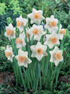 Narcissus Large Cupped Passionale