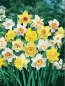 Narcissus Top Of Line Mix