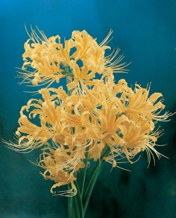 Lycoris Yellow Spider
