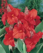Canna Red Dazzler
