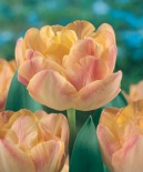 Tulip Cream-Upstar-DL
