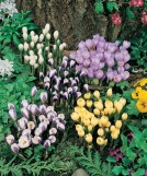 Crocus Species Mix