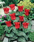 Tulip Red Riding Hood GR