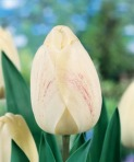 Tulip Ivory-Floradale-DH