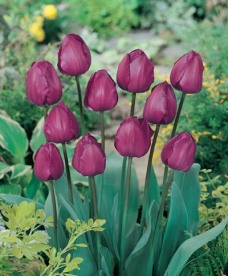 Tulip Landscape Purple