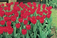 Tulip Landscape Red