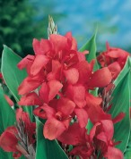 Canna Crimson Beauty