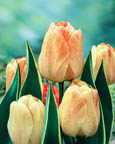 Tulip Royal Stream DH