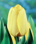 Tulip Golden Oxford DH