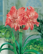 Amaryllis Lady Jane