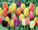 Tulip Mixed Single Late