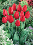 Tulip Red Impression DH