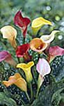 Calla Mixes