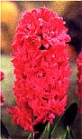 Hyacinth Hollyhock