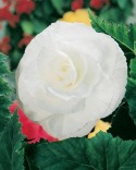begonia white double