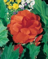 Begonia orange double