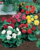 begonia mix nonstop