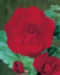 Begonia red double