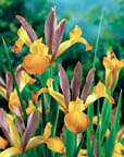 Ductch Iris Bronze Queen