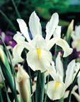 Dutch Iris White Excelsior