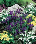 Iris Miniature Purple Gem