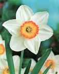 Narcissus LC Flower Record