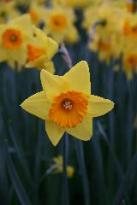 Daffodil Indian-Ruler