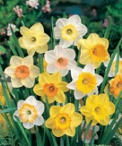 Daffodil Mixed Large cup