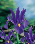 Dutch Iris Professor Blauw