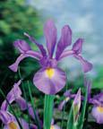 Dutch Iris Imperator
