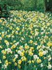 Narcissus Mixed Naturalizing